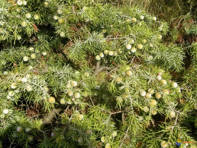 genevrier-cade-visoflora-67263.jpg